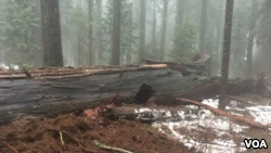 The 'Pioneer Cabin Tree' giant sequoia is seen in Calaveras Big Trees State Park in northern California after a storm made the tree fall on Sunday, January 4, 2017. (Courtesy: California State Parks)