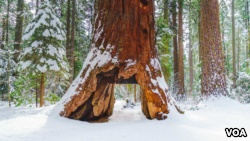 The 'Pioneer Cabin Tree' giant sequoia is seen in Calaveras Big Trees State Park in northern California. (Courtesy: California State Parks)