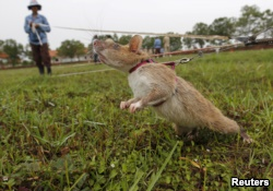 A rat being trained by the Cambodian Mine Action Centre (CMAC) is pictured on an inactive landmine field in Siem Reap province July 9, 2015.