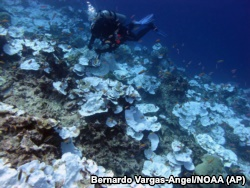 This May 2016 photo provided by NOAA shows bleaching and some dead coral around Jarvis Island, which is part of the U.S. Pacific Remote Marine National Monument.