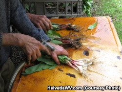 After ramps are picked, they need to be washed before they are cooked.