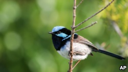 This photo provided by Jessica McLachlan shows a fairy-wren. (Jessica McLachlan)