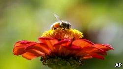 In this Tuesday, Sept. 1, 2015 photo, a bee works atop Gift Zinnia at Hudson Valley Seed Library in Accord, N.Y. (AP Photo/Mike Groll)