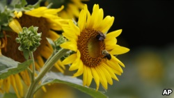 Bumble bees inspect and pollinate a sunflower on a Gaddis Farms field in Bolton, Miss., Friday, July 13, 2018. (AP Photo/Rogelio V. Solis)