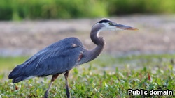 Blue herons are one of the most commonly seen animals in Rock Creek Park. They are tall with long legs and can reach a height of about 1.5 meters.