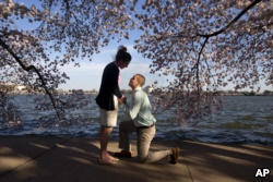In Washington, D.C. with cherry blossoms in full bloom, this man asked his girlfriend to marry him. Was spring fever responsible? Who knows! (AP PHOTO)
