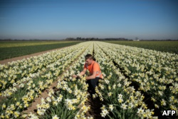 Matthew Hayes, an employee of Taylors Bulbs, poses for a photograph as he inspects a crop of Spring Dawn daffodils on the company's farm near Holbeach in eastern England, on February 25, 2019.