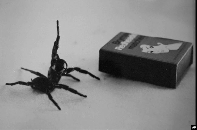Australia's deadliest spider, the male Funnel Web, in this undated filer is compared in size to a matchbox.