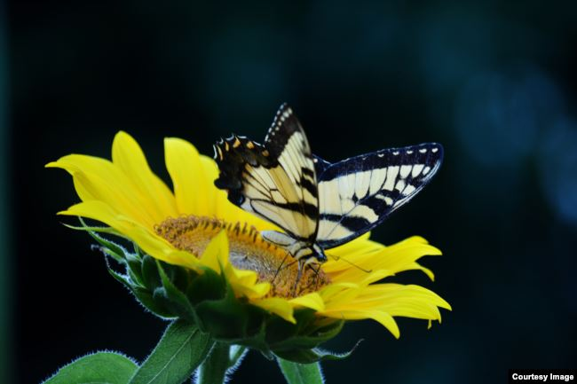 This Monarch butterfly flutters around a sunflower.