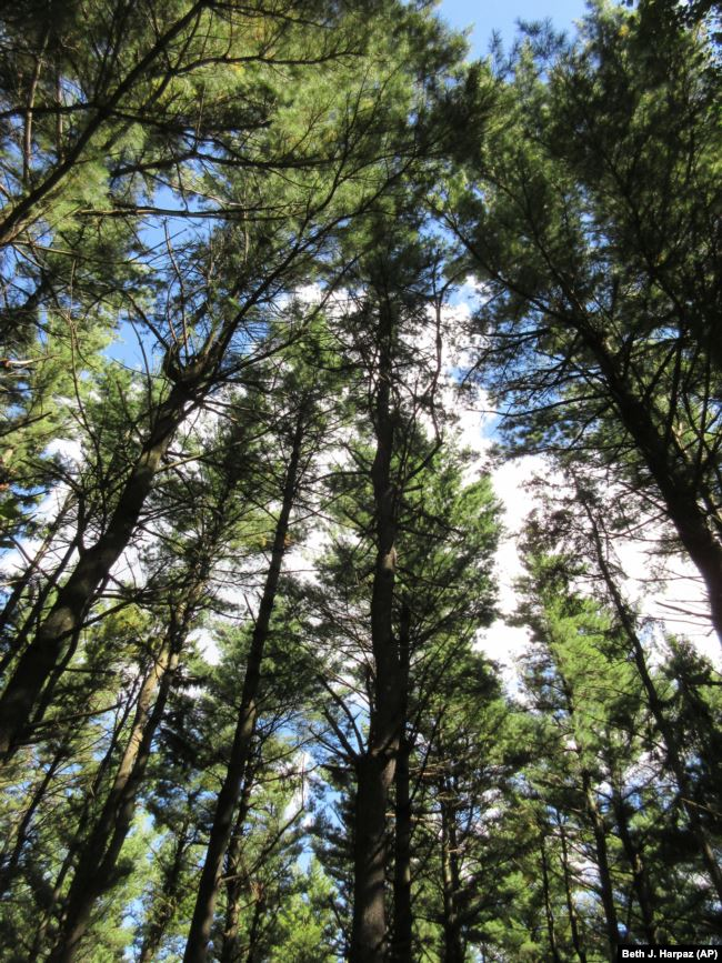 File: The sky seen through evergreen trees on a trail in Wisconsin.
