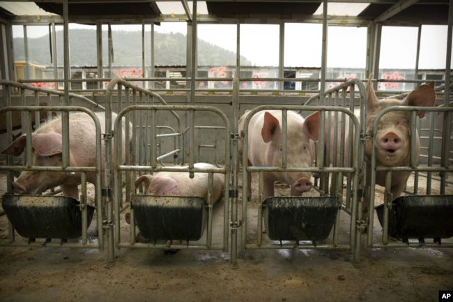 In this May 8, 2019, photo, pigs eat feed at a pig farm in Panggezhuang village in northern China's Hebei province. As a deadly virus ravages pig herds across Asia, scientists are accelerating efforts to develop a vaccine.