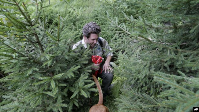 Dia leads her handler Joshua Beese through dense vegetation while smelling for an invasive species called Scotch broom in Harriman State Park in Tuxedo, N.Y., Tuesday, Aug. 6, 2019. (AP Photo/Seth Wenig)