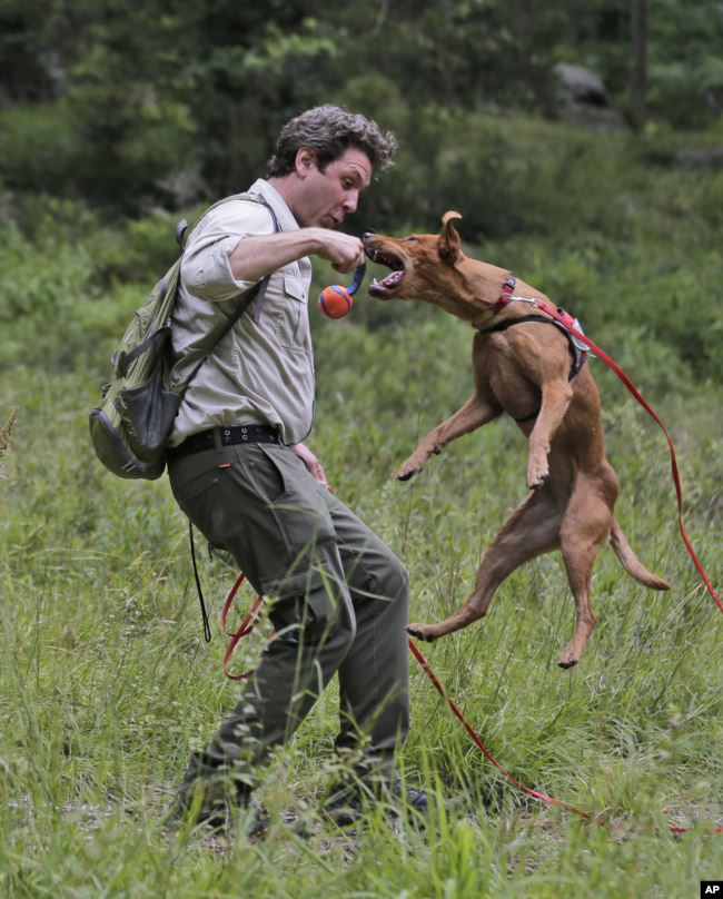 Handler Joshua Beese plays with Dia, a Labrador retriever, while they work to find Scotch broom, an invasive species, in Harriman State Park in Tuxedo, N.Y., Tuesday, Aug. 6, 2019. (AP Photo/Seth Wenig)