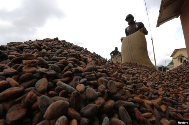 Men pour out cocoa beans to dry in Niable, at the border between Ivory Coast and Ghana, June 19, 2014. Picture taken June 19, 2014. To match Insight GHANA-IVORYCOAST/COCOA REUTERS/Thierry Gouegnon (IVORY COAST - Tags: BUSINESS AGRICULTURE FOOD)