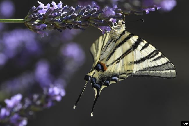 A Machaon butterfly gathers pollen from a lavender flower, on July 7, 2019, in Chisseaux near Tours (central France).