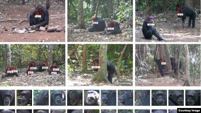 The study by Oxford University researchers used facial recognition technology to collect data on chimpanzees in the wild. (Photo credit: Kyoto University, Primate Research Institute)