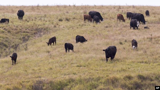 In this photo from Aug. 1, 2012, cattle belonging to Todd Eggerling of Martell, Neb., graze in thin pasture. (AP Photo/Nati Harnik)