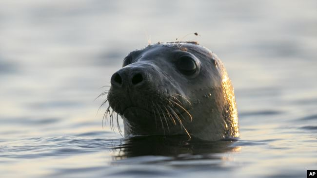 A seal pokes his head out of the water in Casco Bay, Thursday, July 30, 2020, off Portland, Maine. Seals are thriving off the northeast coast thanks to decades of protections.