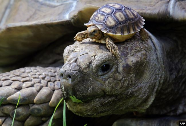 These tortoises are not astronauts. These African spurred tortoises (Centrochelys Sulcata) live at a zoo in Guadalajara, Mexico, May 17, 2018. (AFP PHOTO / Ulises Ruiz)