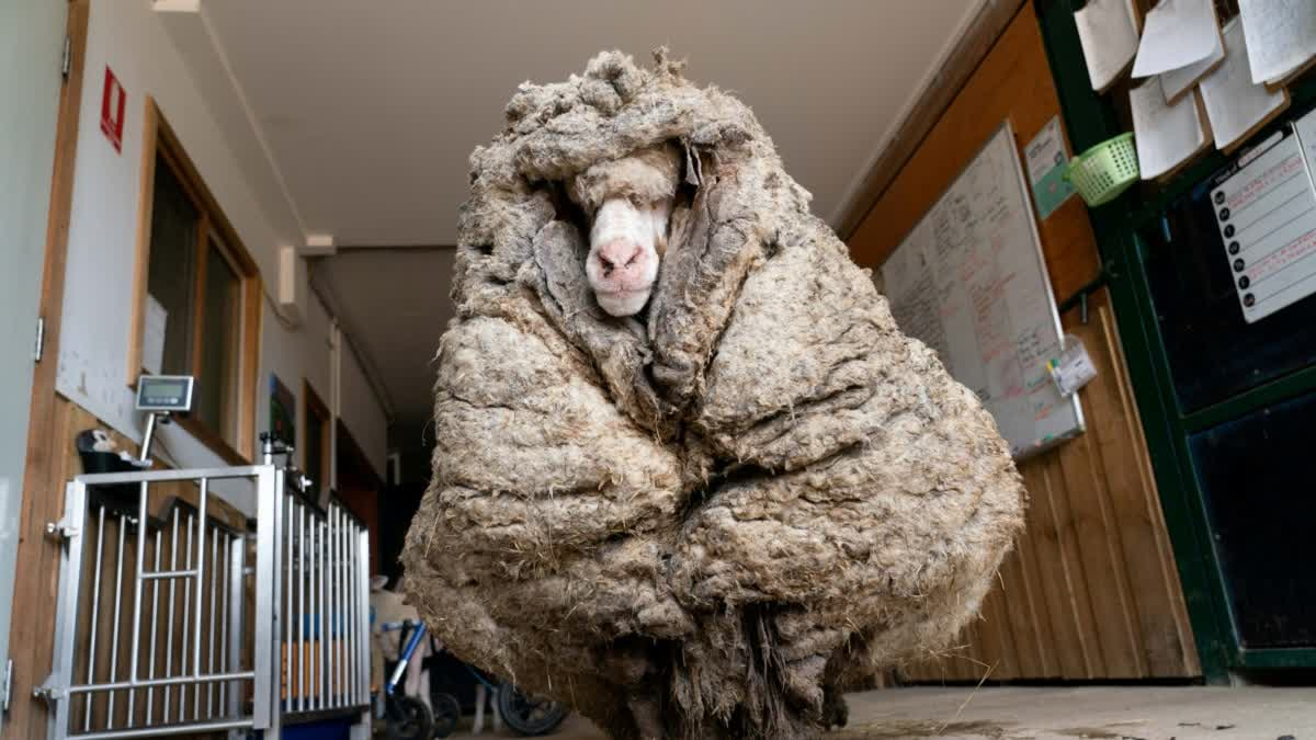 Sheep with 35 Kilograms of Wool Finally Gets a Haircut