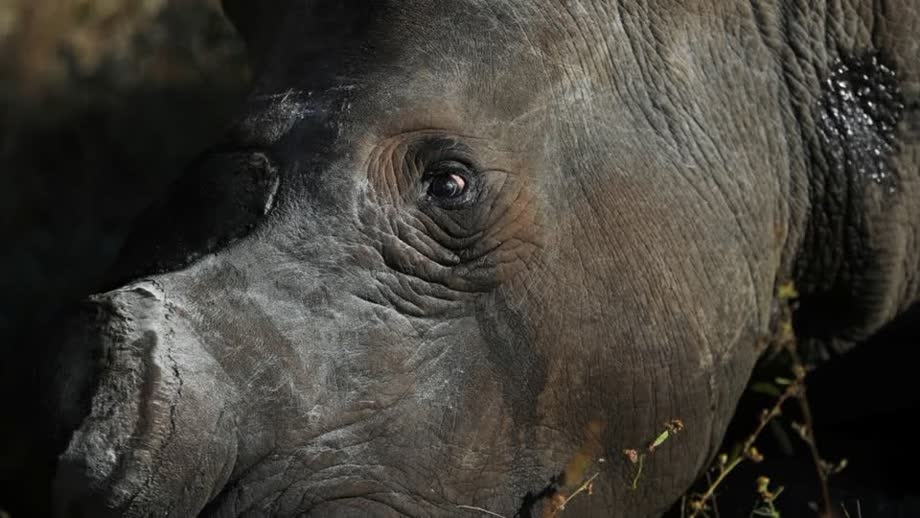 Rhino Poachers Return After South Africa Eases Pandemic Restrictions